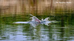 River Dolphin Brahmaputra (1)-001