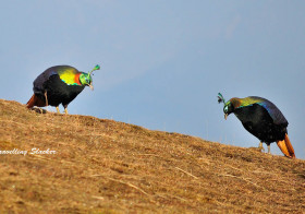 Chasing Monal: Titillation in Tungnath