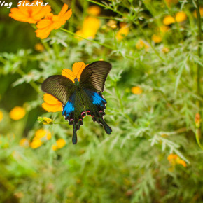 Butterflies at Mawlynnong and Riwai