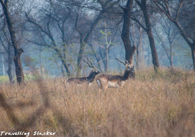 Nilgai and Blackbuck Sightings and thoughts on Polygamy