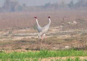 Spotting Sarus Cranes near Sultanpur