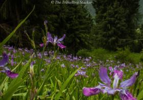 Shoja to Jalori Pass: Slopes of Iris