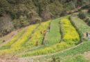 Champawat Mustard Fields