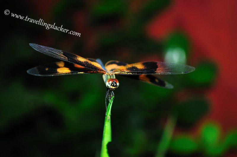 Multi-coloured Dragonfly   The Travelling Slacker