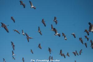 Flying demoiselle cranes