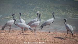 demoiselle cranes (Anthropoides Virgo)