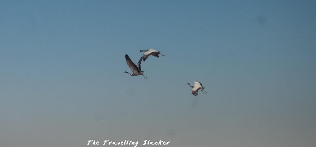 Khichan Cranes in flight