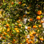 Rimbi Orange Garden: A Glimpse of Organic Sikkim