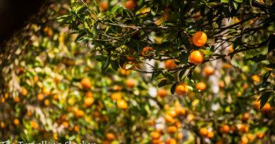 Rimbi Orange Garden: A Glimpse of Organic Sikkim