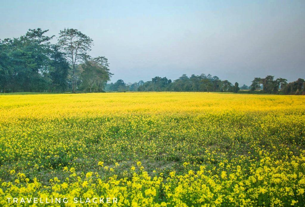 Mustard fields in Majuli Island